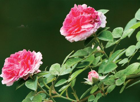 троянди античні