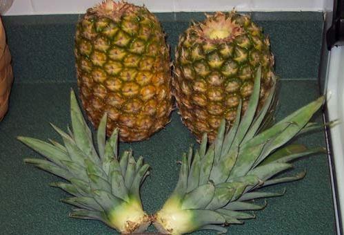Поради, як посадити ананас вдома