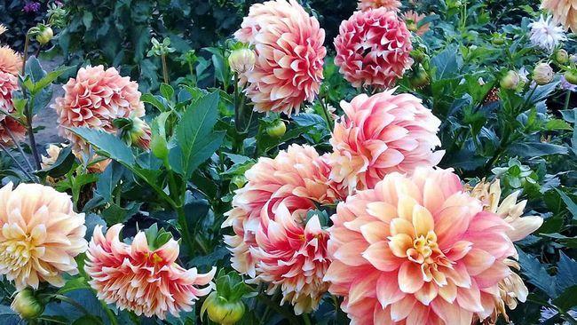 Поради досвідчених квітникарів по вирощуванню жоржин на садовій ділянці