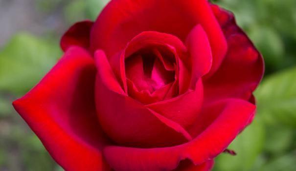 Сучасні садові троянди