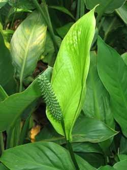 Спатифіллум, всіма улюблена квітка