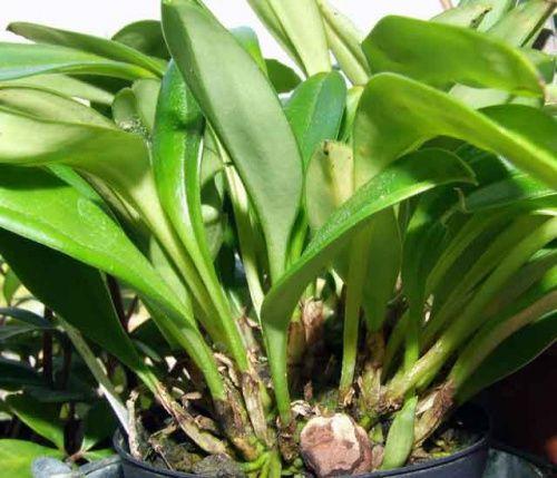 Спосіб розведення орхідей розподілом псевдобульб