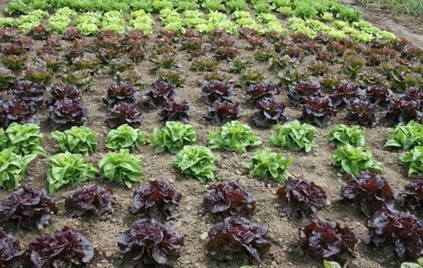 Овочева культура - салат
