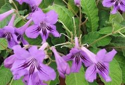 Стрептокарпус - гідний конкукрент серед квітучих