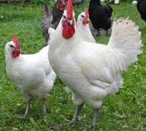 Стрептококкоз - одне з найпоширеніших інфекційних захворювань домашньої птиці