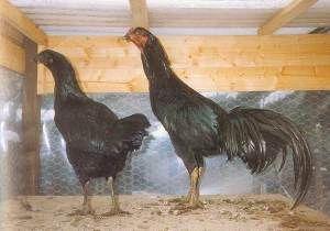 Сунданезійскіе бійцівські кури - уособлення агресивності