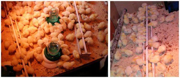 Добові курчата бройлери вчаться користуватися годівницею