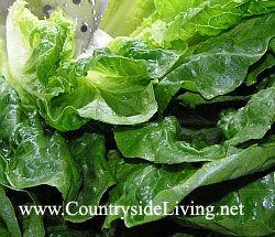 Салат листовий Ромен - один з найкращих салатів, використовується в рецепті салату