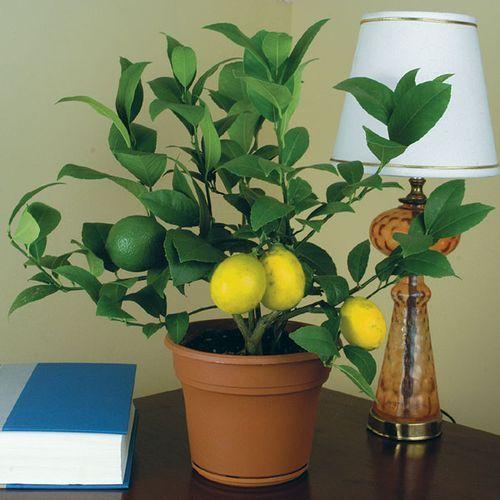 Так чому ж опадає листя у лимона?