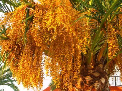 Такий екзотичний плід пальми