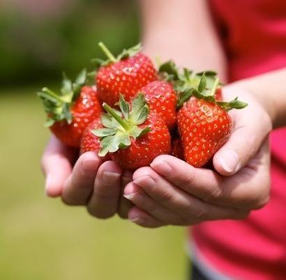 Технологія вирощування полуниці цілий рік вдома