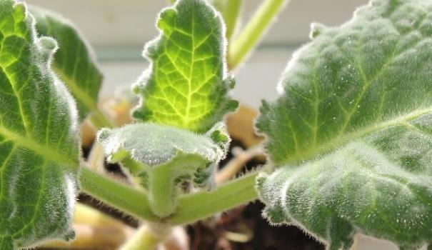 Навесні глоксиния швидко відростає після зимового спокою