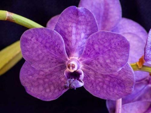 Температурний режим для орхідеї