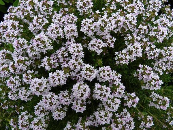 Квіти чебрецю. Фото з просторів інтернету