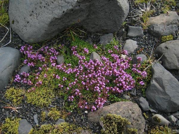 Thymus subarcticus Klok. & Amp; amp-amp-amp-amp-amp-amp-amp-amp- Shost