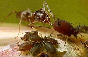 мурахи п`ють молочку від попелиці