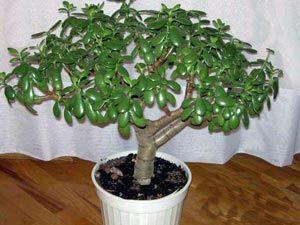 Толстянка - Грошове дерево - крассула