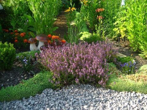 Трава чебрець - так і проситься в город