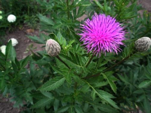 Трава левзея: корисні властивості та особливості вирощування рослини