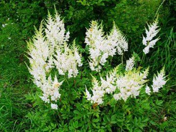 Трава таволга - ліки від сорока хвороб