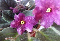 Трипси на кімнатних квітах: профілактика та заходи боротьби