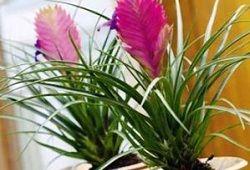 Тропічна тилландсия: догляд в домашніх умовах