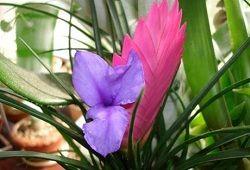 квітка тилландсия