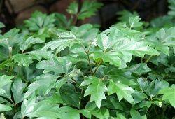 Тропічний циссус з розкішною листям