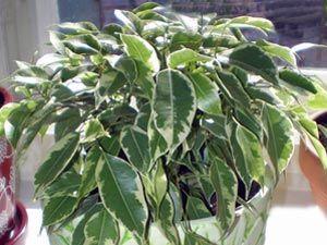 У фікуса бенджаміна опадає листя. Чому? Частина 2