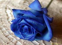 Вчені готуються вивести троянду самого рідкісного кольору