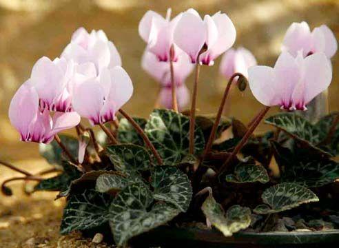 Цикламен, квіти