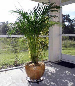 Догляд за цикаса - тропіки будинку