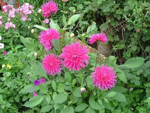 Осінні квіти жоржини