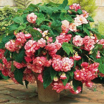 Догляд за квіткою бегонія в домашніх умовах