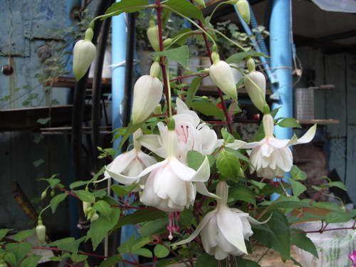 Догляд за квіткою фуксія