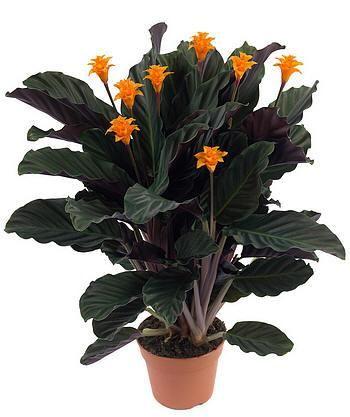 Догляд за квіткою галатея (калатея