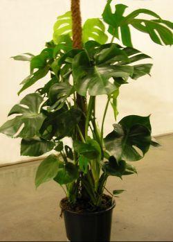 Догляд за філодендроном - створити тропіки будинку