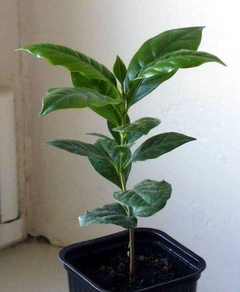 Догляд за кавовим деревом