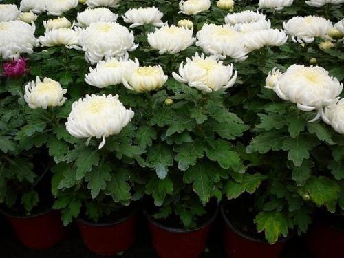 Догляд за кімнатної хризантемою та її особливості
