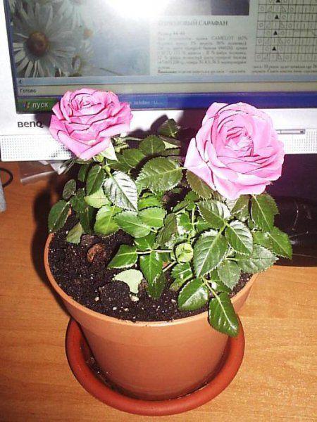 Догляд за кімнатної трояндою
