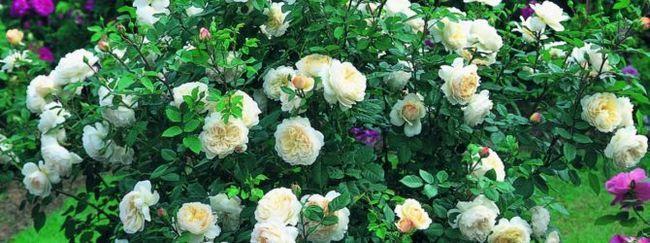 Догляд за трояндами ранньою весною