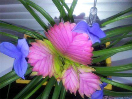 цвітіння тилландсии