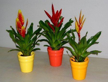 Догляд за вриезии - одне задоволення для квітникарів