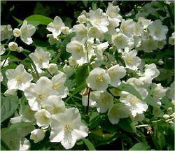 Жасмин квітка - прекрасний і ароматний