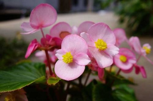 Прикрашаємо сад і квітник бегонією вечноцветущей