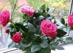 Роза: проблеми домашнього вирощування і їх рішення