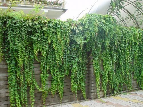 Прикраса ділянки - плющ садовий