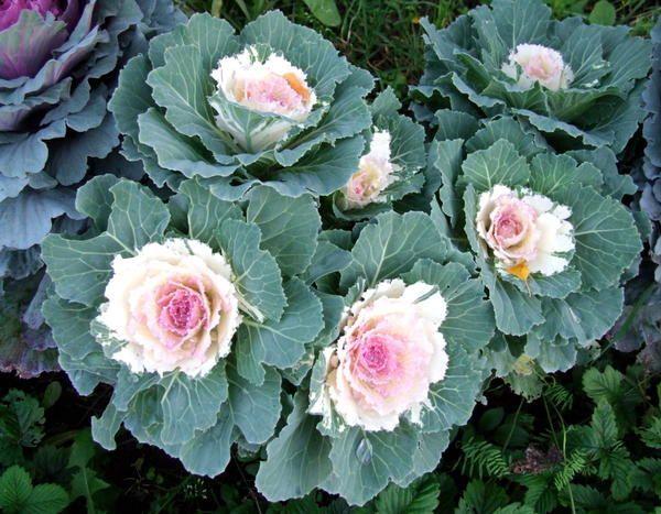 Декоративна капуста: ну чим не троянда?