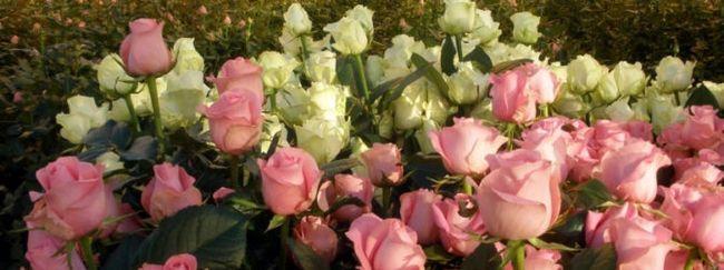 Умови вирощування троянд