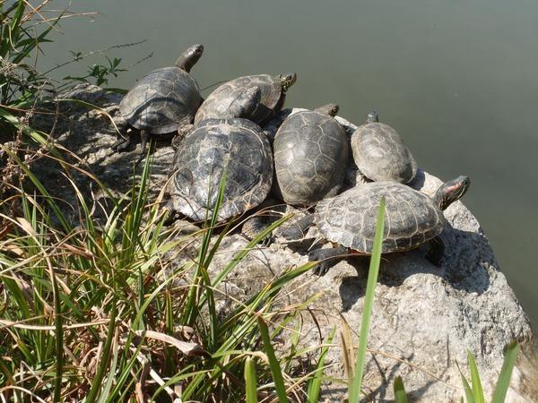 У квітневий день: черепахи і квітучі кактуси